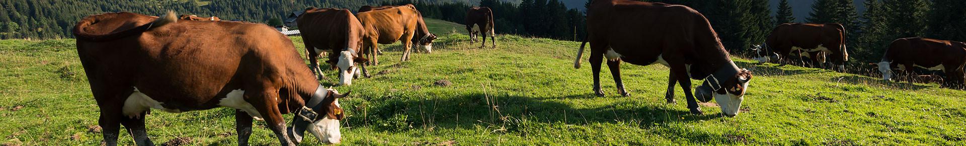 Alpages, vaches d'Abondance