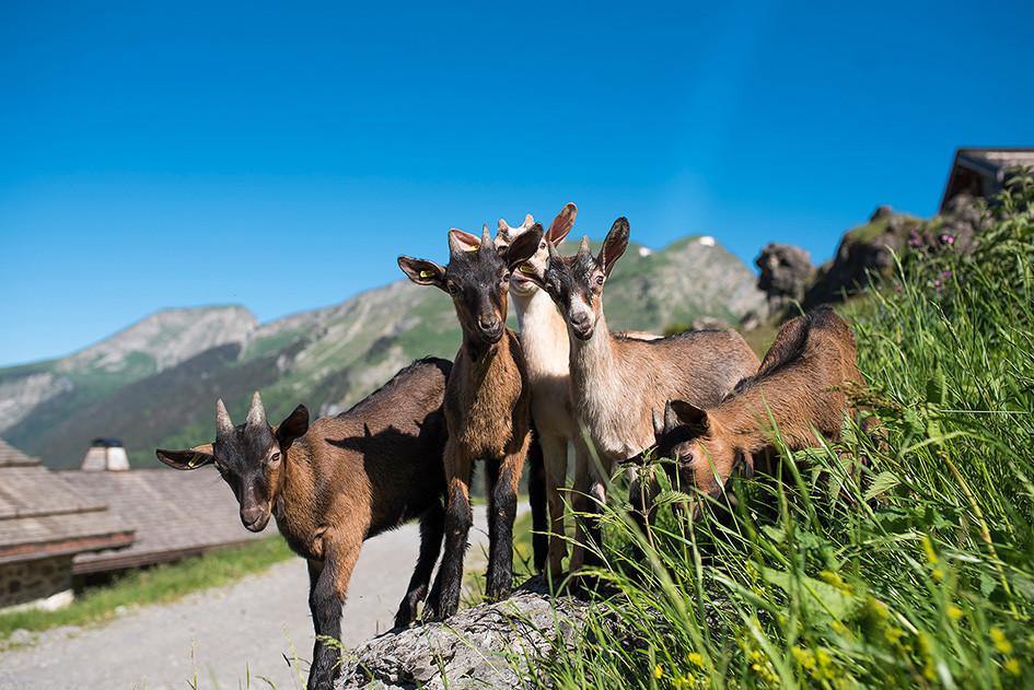 Les chèvres des Lindarets