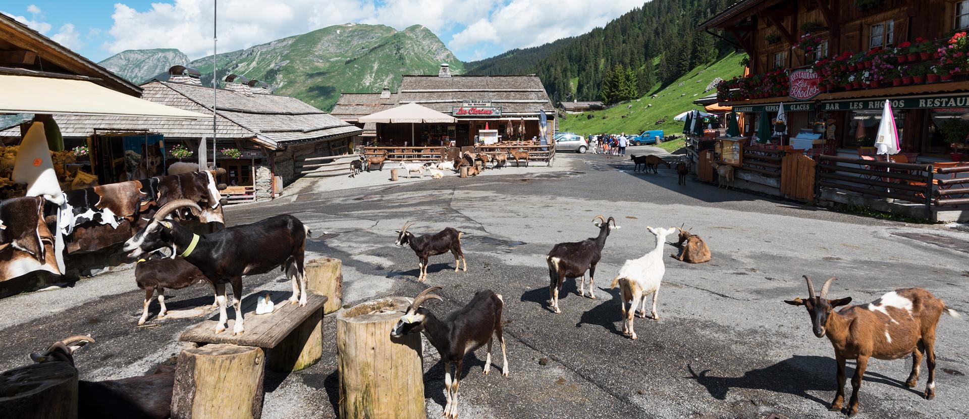 Chèvres des Lindarets