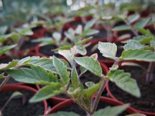 photo-planton-tomates-5472