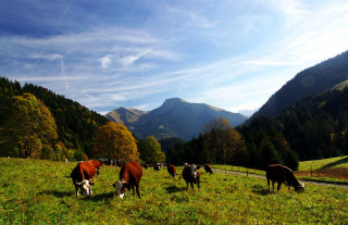 vaches-graydon-automne-5203