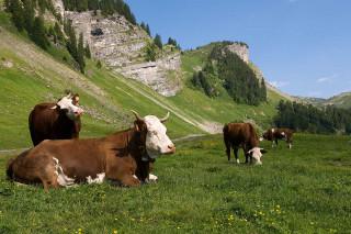 vaches-lecherette-3669