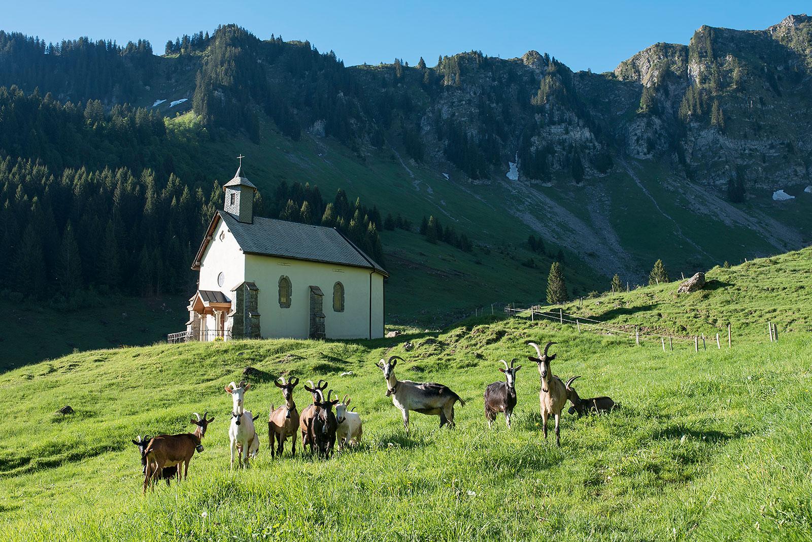 Les chèvres et la chapelle de Graydon