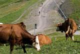 La Pass'Portes et les vaches d'Abondance