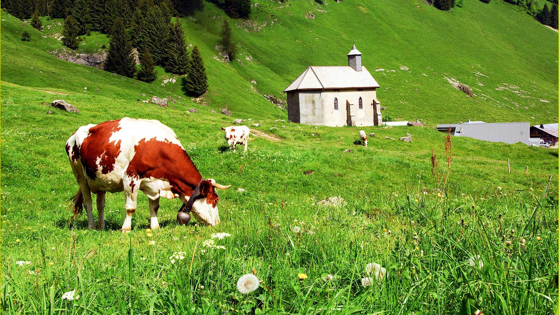 Vache d'Abondance et chapelle de Graydon