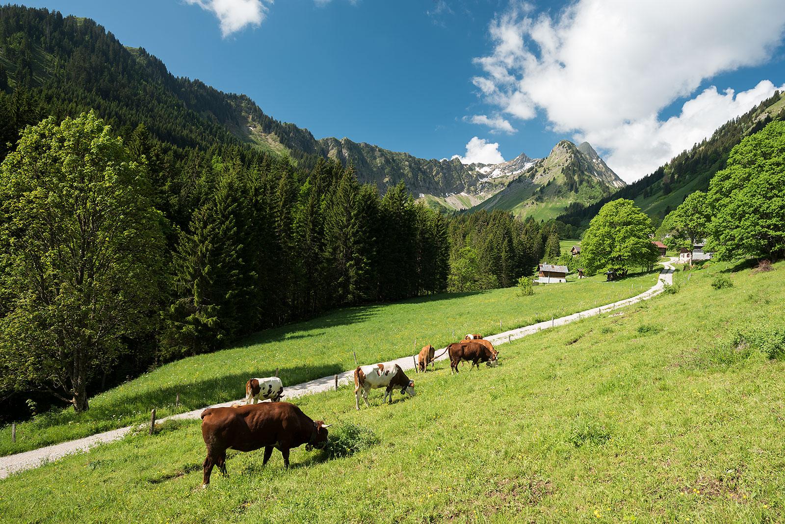 Vaches et alpage de Graydon